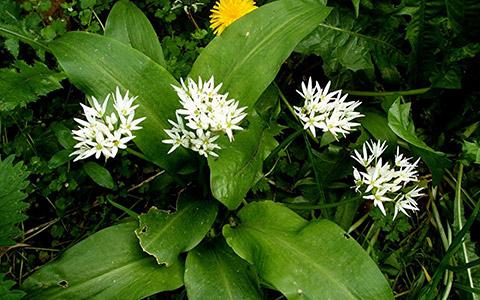 Srijemuš ili medvjeđi luk (Allium ursinum)