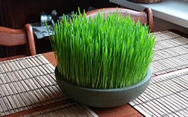 Pšenicna trava