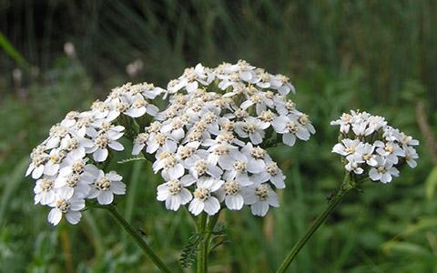 Stolisnik (Achillea millefolium)