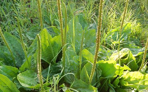 Širokolisni trputac (Plantago major) i uskolisni trputac (Plantago lanceolala)