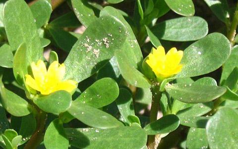 Tušanj (Portulaca olearcea)